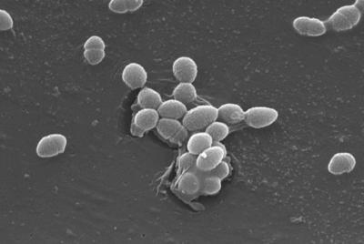The bacterium, Enterococcus faecalis, which lives in the human gut, is just one type of microbe that will be studied...