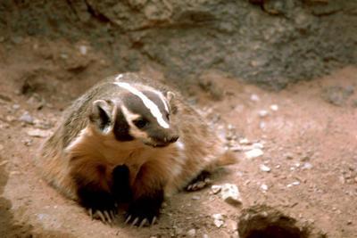 badger define badger at dictionarycom