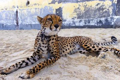 Cheetah quotes - photo#14