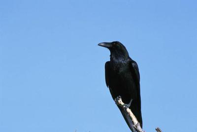 raven define raven at dictionarycom