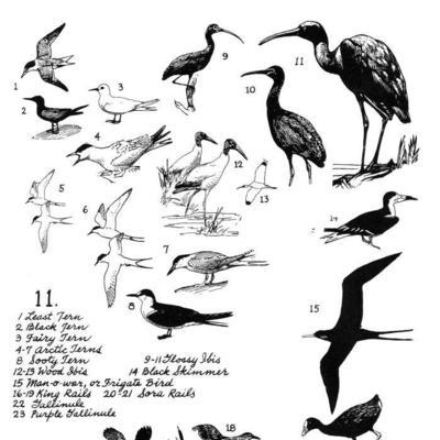 White Tern Drawing Tern