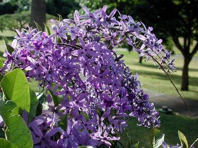 wisteria define wisteria at